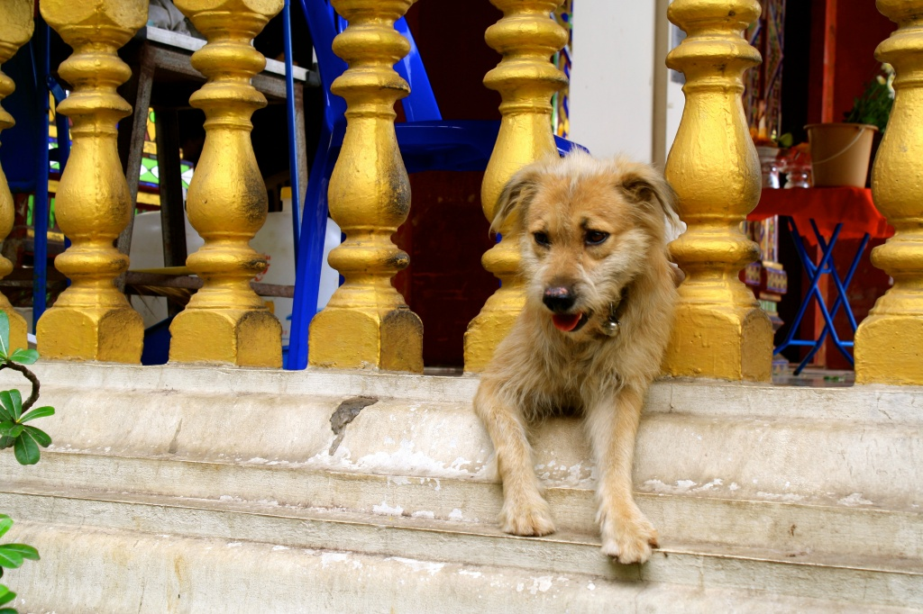 A monk's dog hanging out at a Wat (temple)